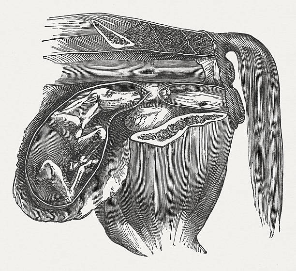 Cow fetus: Abnormal position, buckled front legs, published in 1883 vector art illustration