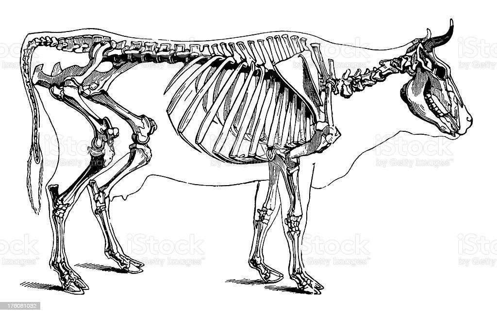 Cow skeleton | Antique Scientific Illustrations royalty-free stock vector art