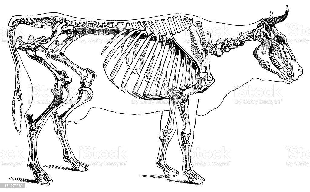 Ilustración de Esqueleto De Vaca y más banco de imágenes de Anatomía ...