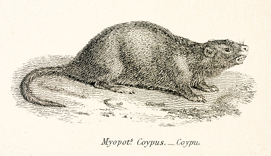 Coypu engraving 1803