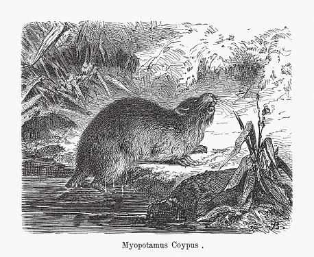 Coypu, or Nutria (Myocastor coypus), wood engraving, published in 1893