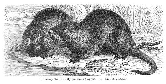 Coypu River Rat engraving 1896