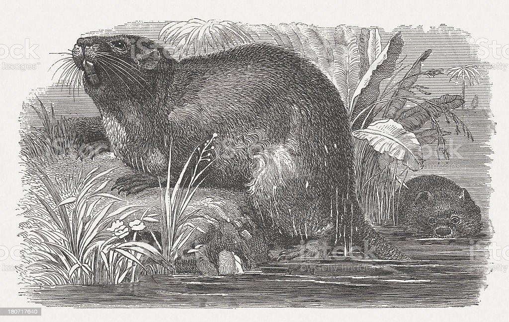 Coypu (Myocastor Coypus), wood engraving, published in 1875 royalty-free stock vector art