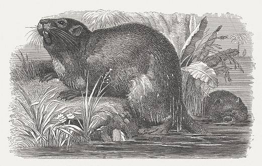 Coypu (Myocastor Coypus), wood engraving, published in 1875