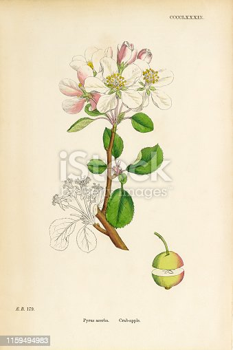 Very Rare, Beautifully Illustrated Antique Engraved and Hand Colored Victorian Botanical Illustration of Crab Apple, Pyrus acerba, 1863 Plants. Plate 489, Published in 1863. Source: Original edition from my own archives. Copyright has expired on this artwork. Digitally restored.