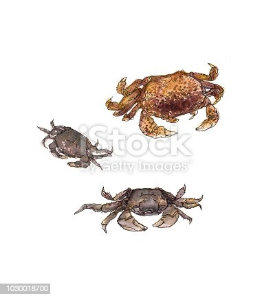 Watercolor illustration of several small crabs on white background.