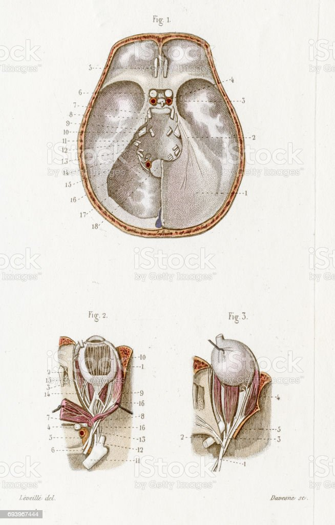 Cranial Nerves Anatomy Engraving 1886 stock vector art 693967444 ...