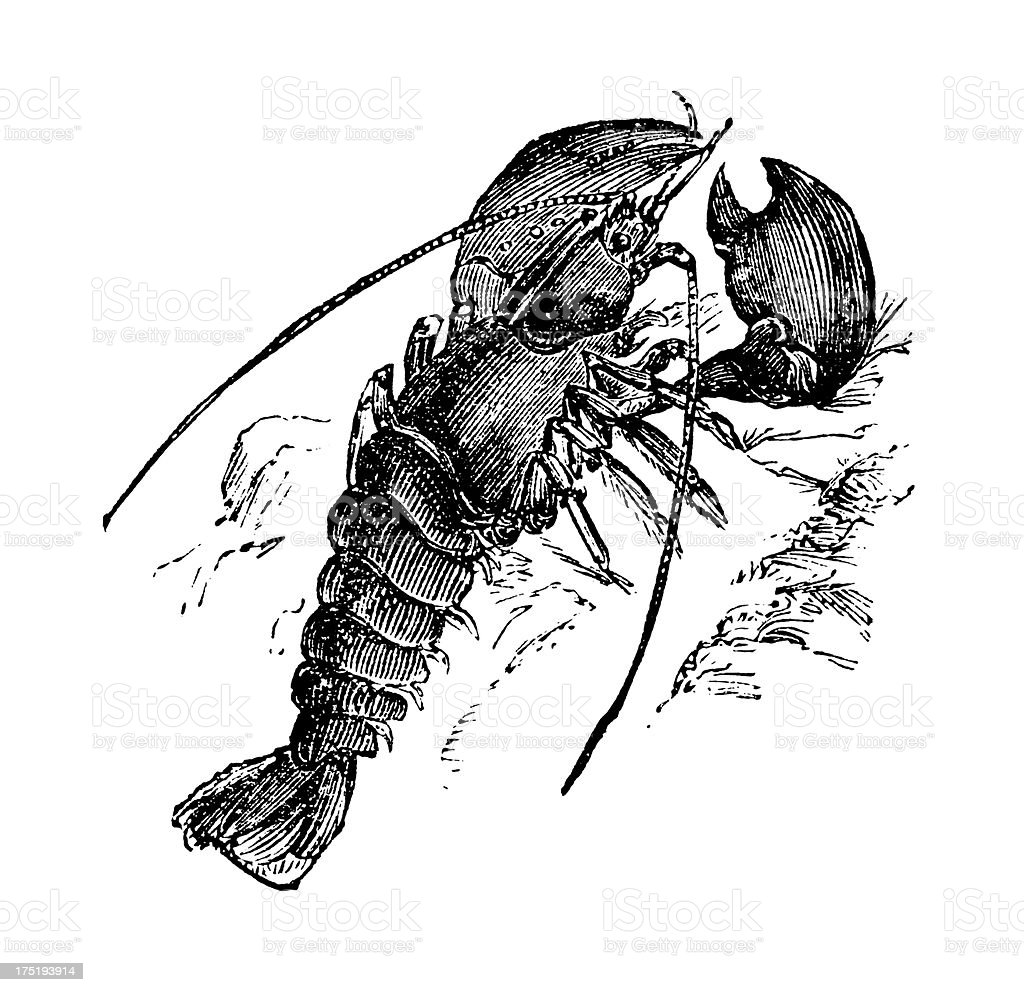 Crawfish | Antique Seafood Illustrations royalty-free stock vector art