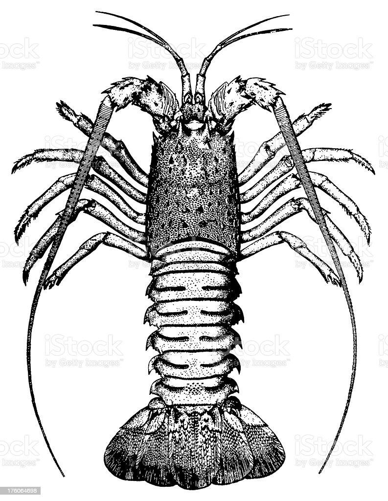 Crayfish | Antique Animal Illustrations royalty-free stock vector art