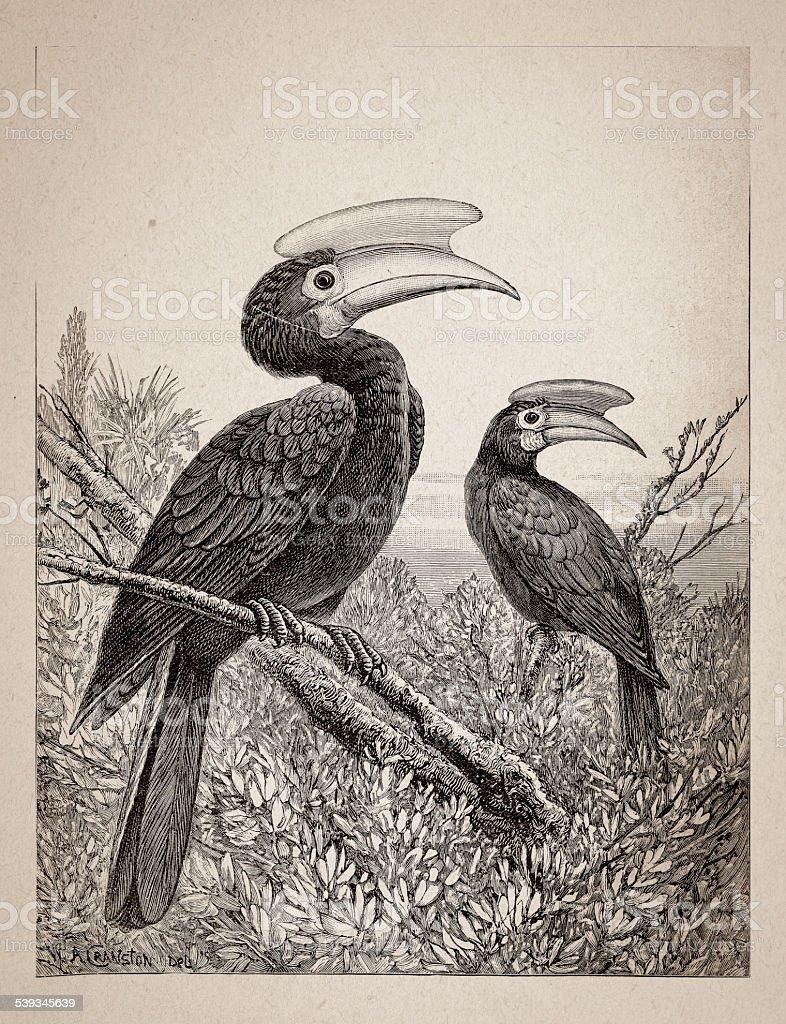 Crested Hornbill vector art illustration