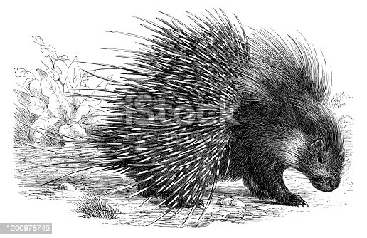 The crested porcupine ( Hystrix cristata ) also known as the African crested porcupine, is a species of rodent in the family Hystricidae found in Italy, North Africa Original edition from my own archives Source :