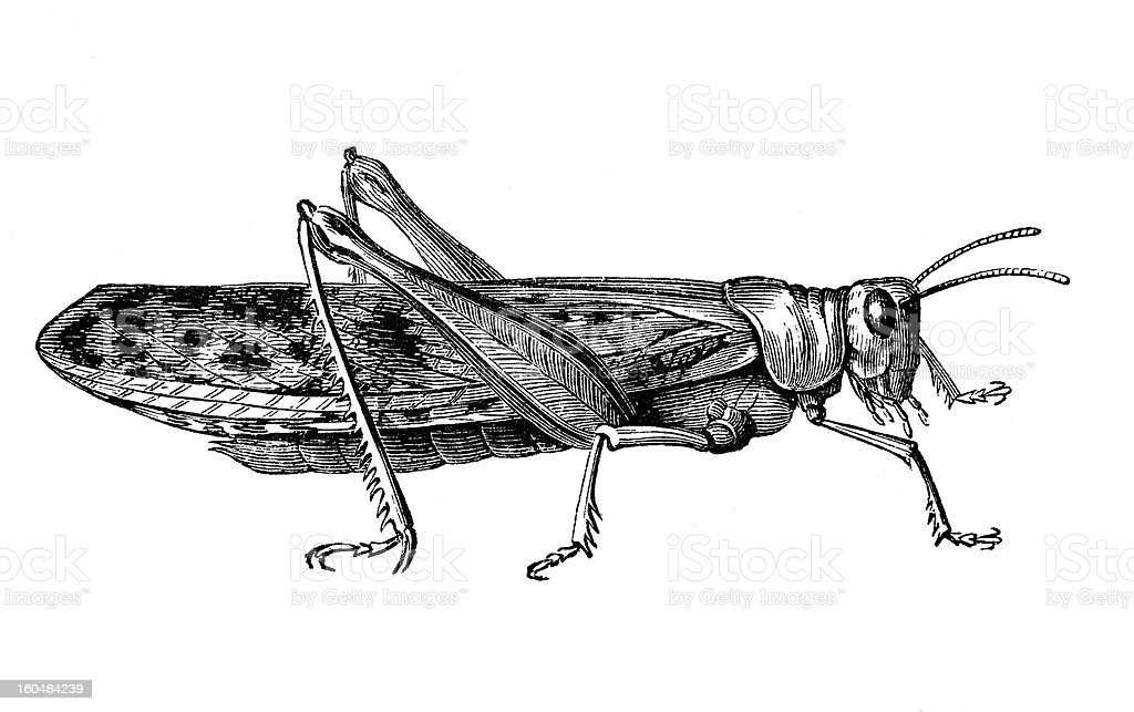 Cricket royalty-free cricket stock vector art & more images of 19th century style