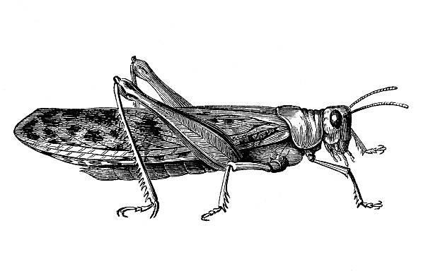 cricket - cricket stock illustrations, clip art, cartoons, & icons