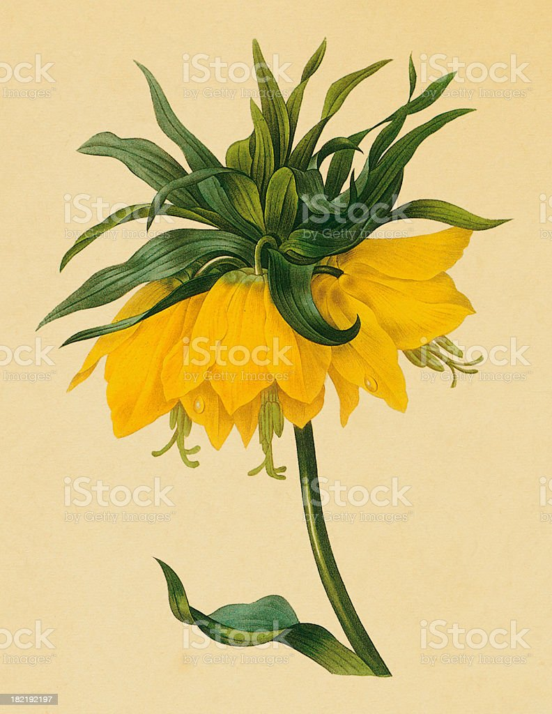 Crown imperial | Antique Flower Illustrations royalty-free stock vector art