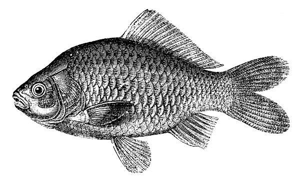 stockillustraties, clipart, cartoons en iconen met crucian carp | antique animal illustrations - carp
