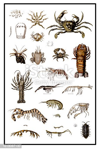 Illustration of a Crustaceans form a large, diverse arthropod taxon which includes such familiar animals as crabs, lobsters, crayfish, shrimp, krill, woodlice, and barnacles.
