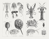 Crustaceans (Crustacea), wood engravings, published in 1897