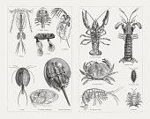Crustaceans (Crustacea): 1) Cyclops with eggs; 2) Fish louse (Argulus foliaceus), bottom view; 3) Lepas; 4)  Water flea (Daphnia); 5) Triops (Apus ); 6) Ostracod (Cypridina mediterranea); 7) Indo-Pacific horseshoe crab (Tachypleus gigas, or Limulus moluccanus); 8) European crayfish (Astacus astacus, or Astacus fluviatillis); 9) Squilla mantis; 10) Edible crab (Cancer pagurus); 11) Rough woodlouse (Porcellio scaber); 12) Freshwater shrimp (Gammarus pulex); 13) Whale louse (Cyamus). Wood engravings, published in 1897.