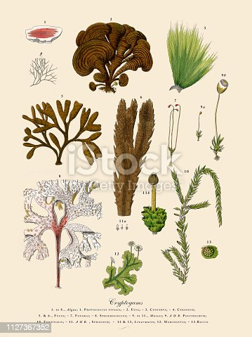 Very Rare, Beautifully Illustrated Antique Engraved Victorian Botanical Illustration of Cryptogam, Algae, Lichens, Mosses, Ferns,: Plate 2, Published in 1886. Source: Original edition from my own archives. Copyright has expired on this artwork. Digitally restored.