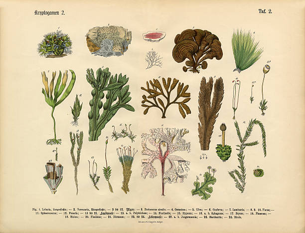 Cryptogam, Algae, Lichens, Mosses, Ferns, Victorian Botanical Illustration Very Rare, Beautifully Illustrated Antique Engraved Victorian Botanical Illustration of Cryptogam, Algae, Lichens, Mosses, Ferns,: Plate 2, from Lehrbuch der praktischen Pflanzenkunde in Wort und Bild (The Book of Practical Botany in Word and Image), Published in 1886. Copyright has expired on this artwork. Digitally restored. moss stock illustrations