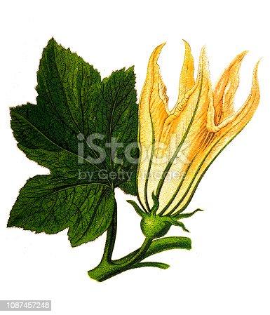 Illustration of a Cucurbita ,squash blossoms