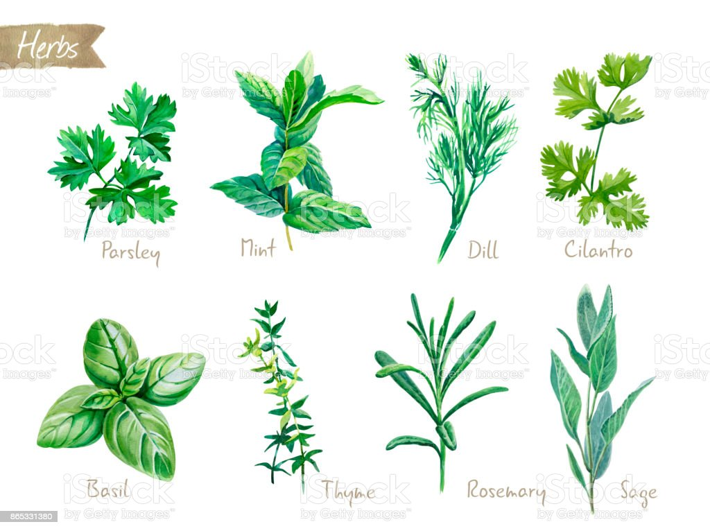 Culinary herbs collection watercolor illustration with clipping paths vector art illustration