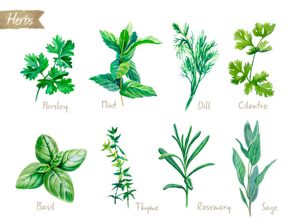Culinary herbs collection watercolor illustration with clipping paths Watercolor collection of culinary herbs isolated on white background with clipping path included. Parsley, thyme, dill, basil, rosemary, sage, mint, cilantro basil stock illustrations