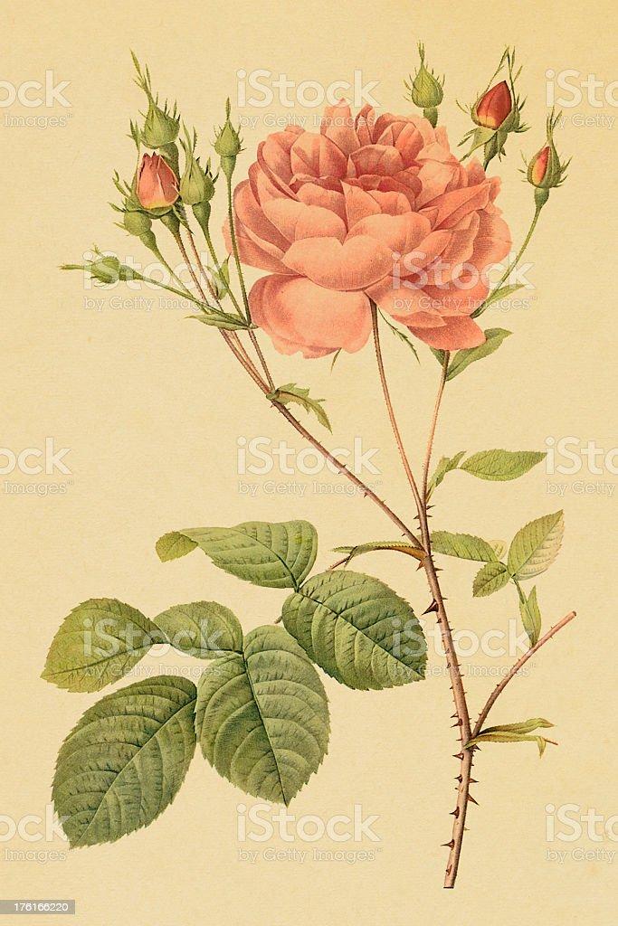 Ilustracion De Cumberlandilustraciones De Flores Rosa Antigua Y Mas