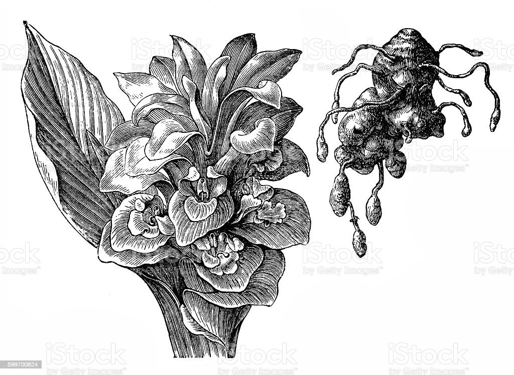 Curcuma zedoaria vector art illustration