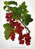Currants with green leaves on white background