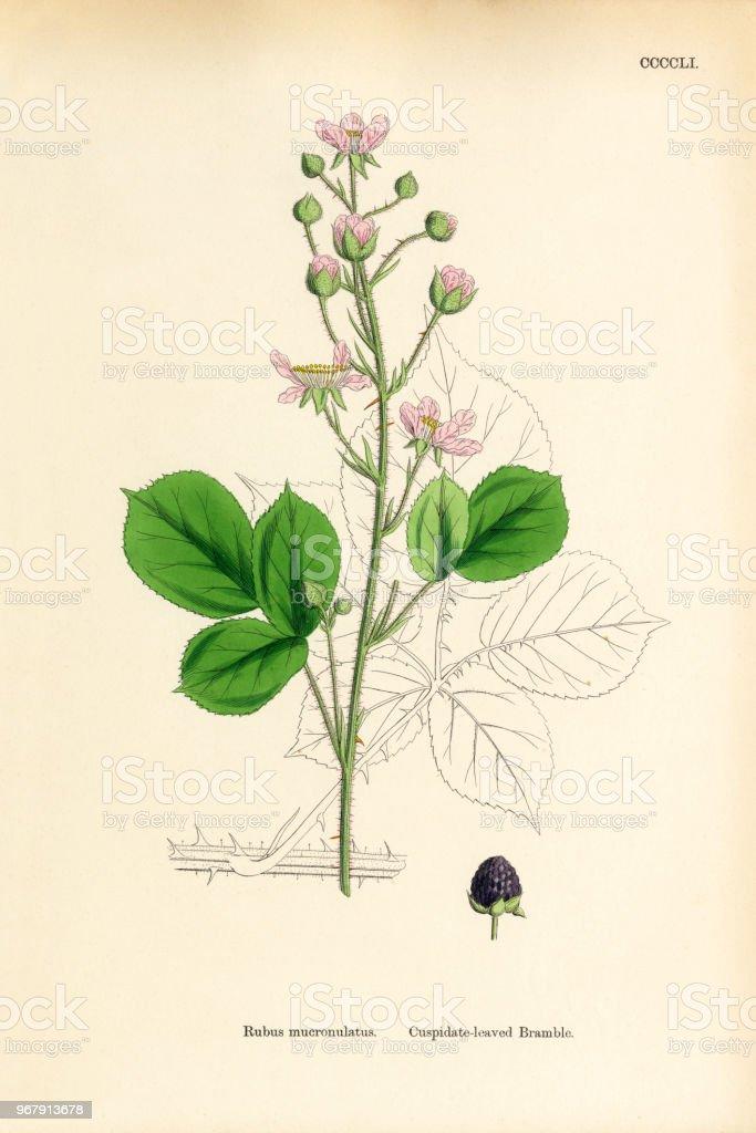 Geliebte Blusezipfligleaved Brombeere Rubus Mucronulatus Viktorianischen @ID_41