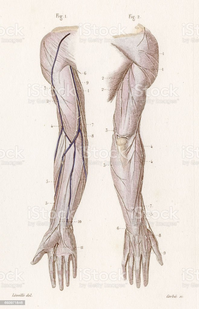 Cutaneous Nervous System Anatomy Engraving 1886 Stock Vector Art ...
