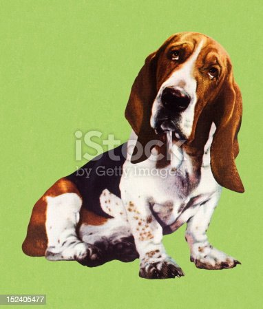 Cute Basset Hound Dog