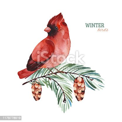 Winter watercolor illustration.Cute Cardinal bird on a conifer branch.Perfect for your project, christmas holiday, wedding invitations, greeting cards, photos, posters, quotes and more.
