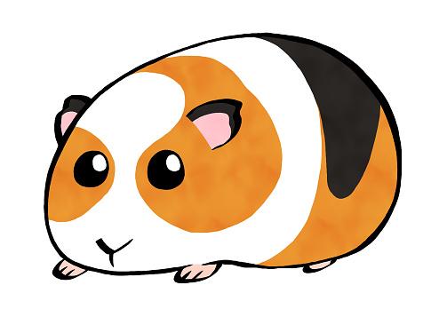 Cute guinea pig calico