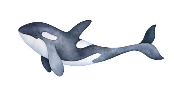 Cute marine orca kid character portrait. Smiling spotted snout and long playful tail. Hand painted watercolor and ink graphic drawing on white background, cutout element for prints, design, decor. Hand drawn watercolor illustration. killer whale stock illustrations