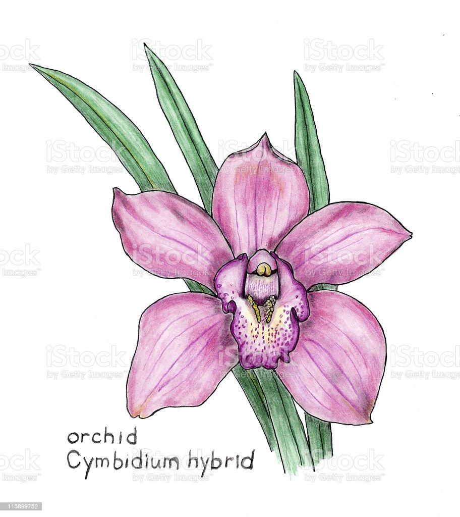 orchid e cymbidium botanical dessin au crayon de couleur stock vecteur libres de droits. Black Bedroom Furniture Sets. Home Design Ideas