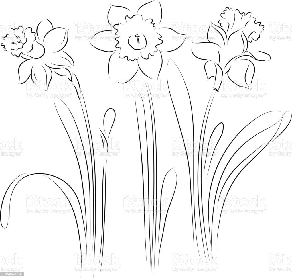 Daffodil vector art illustration