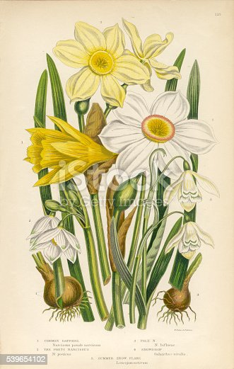 Very Rare, Beautifully Illustrated Antique Engraved Daffodil, Narcissus, Jonquil, Snowdrop, Buttercup Victorian Botanical Illustration, from The Flowering Plants and Ferns of Great Britain, Published in 1846. Copyright has expired on this artwork. Digitally restored.