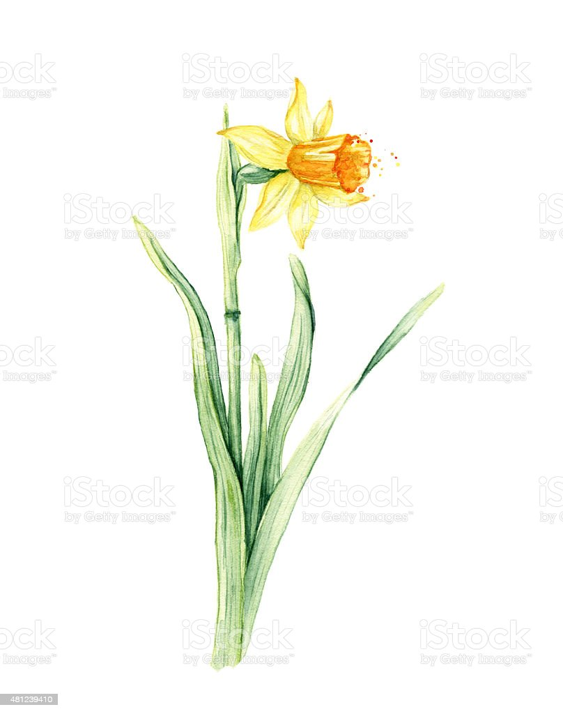 daffodil spring flower or narcissus watercolor illustration stock