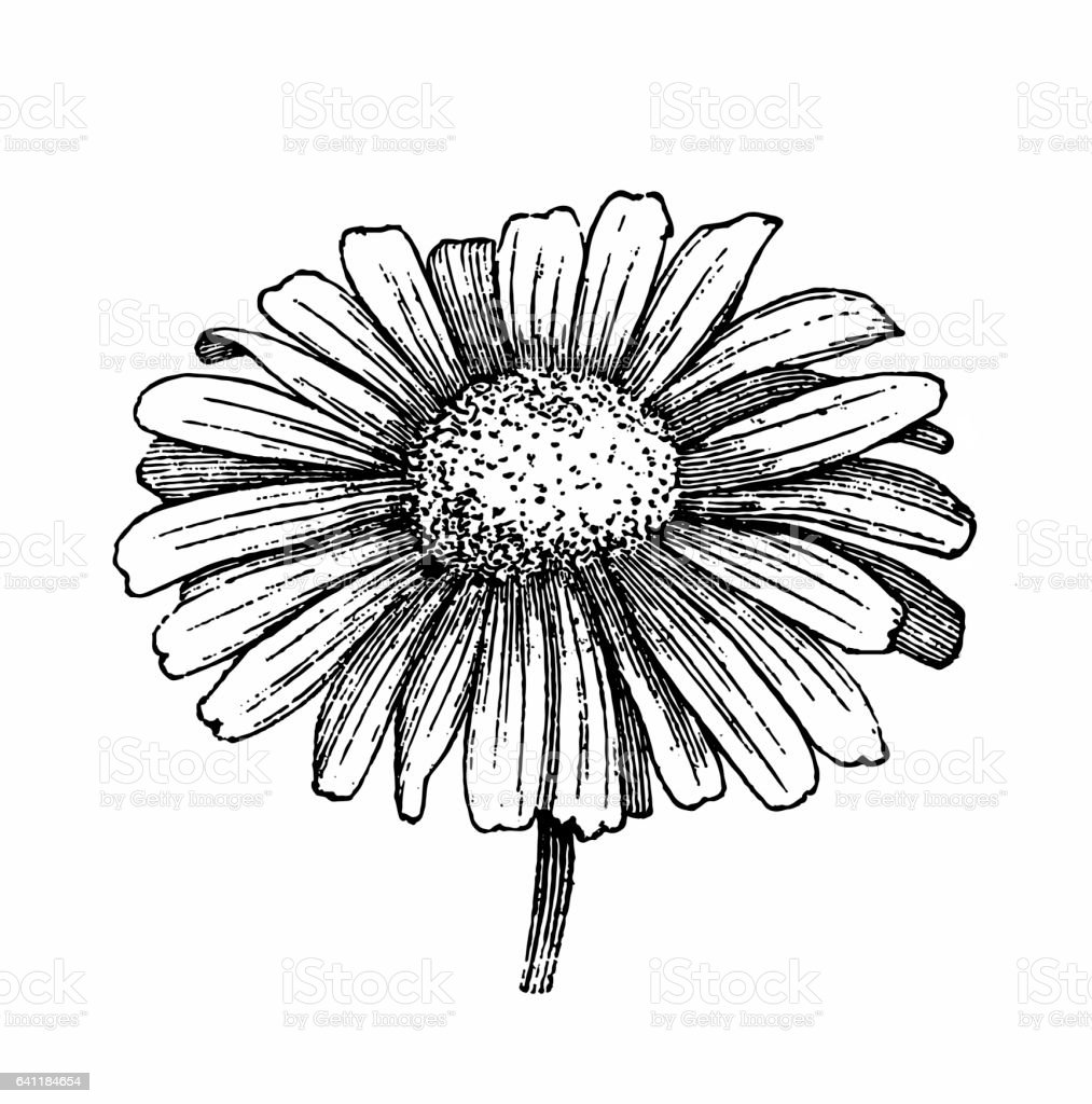 Daisy flower vector art illustration