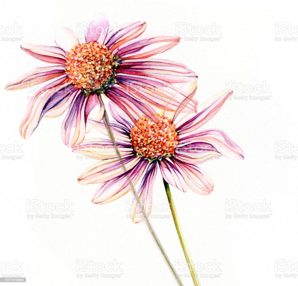 Daisy Watercolor Paints Closeup Of Flower Petal Petals