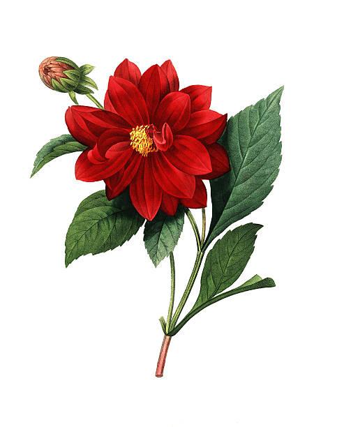illustrations, cliparts, dessins animés et icônes de dalhia double/redoute fleur illustrations - amaryllis