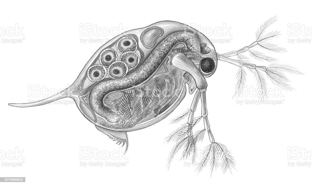 Daphnia Microscopic Water Flea Stock Vector Art & More Images of ...