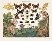 Darwinism - Principle of Natural Selection of Living Organisms by Charles Darwin (English naturalist, 1809-1882): 1 - 4) in animals of the same breed and environment - Bumblebee (Bombus confusus); 5 - 7) Climatic transformations between southern and northern Europe - Small tortoiseshell (Aglais urticae); 8 - 9) Transformations between the seasons (seasonal dimorphism) - Map butterfly (Araschnia levana); 10 - 16) Gender-specific transformations (Sexual dimorphism) - Ancyluris inca (female 10, male 11), Scarab beetle (Phanaeus festivus, 12 male, 13-16 male); 17 - 19) Crossbreed between of two organisms of different breeds, varieties, species or genera through sexual reproduction (Bastardization) - Primula auricula (17) and Primula hirsuta (18) are the parents of Primula pubescens (19); 20 - 25) Adaptation to the aquatic life - Water chestnut (Trapa natans), plant (20) and nut (21), Water-crowfoot (Ranunculus aquatilis, 22), Mayfly (Ephemera vulgata, 23) and its gill larva (24), Backswimmer (Notonecta glauca, 25); 26 - 27) Adapting to the parasite life - Toothwort (Lathraea squamaria, 26), Dutchman's pipe (Monotropa Hypopithys, 27). Lithograph, published in 1897.