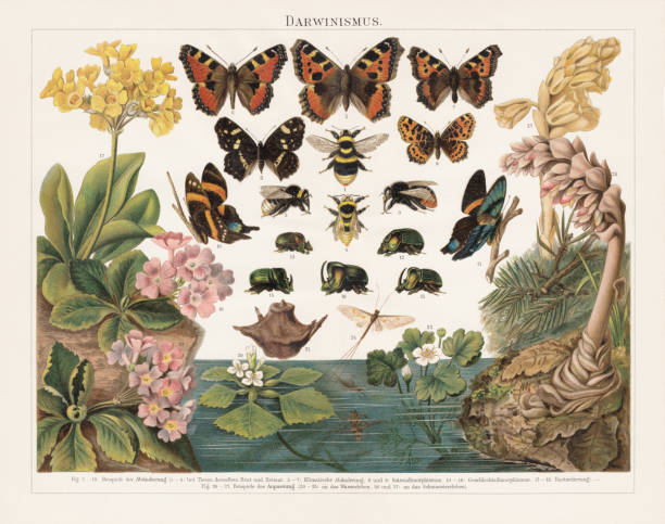Darwinism, Natural Selection of Living Organisms, lithograph, published in 1897 Darwinism - Principle of Natural Selection of Living Organisms by Charles Darwin (English naturalist, 1809-1882): 1 - 4) in animals of the same breed and environment - Bumblebee (Bombus confusus); 5 - 7) Climatic transformations between southern and northern Europe - Small tortoiseshell (Aglais urticae); 8 - 9) Transformations between the seasons (seasonal dimorphism) - Map butterfly (Araschnia levana); 10 - 16) Gender-specific transformations (Sexual dimorphism) - Ancyluris inca (female 10, male 11), Scarab beetle (Phanaeus festivus, 12 male, 13-16 male); 17 - 19) Crossbreed between of two organisms of different breeds, varieties, species or genera through sexual reproduction (Bastardization) - Primula auricula (17) and Primula hirsuta (18) are the parents of Primula pubescens (19); 20 - 25) Adaptation to the aquatic life - Water chestnut (Trapa natans), plant (20) and nut (21), Water-crowfoot (Ranunculus aquatilis, 22), Mayfly (Ephemera vulgata, 23) and its gill larva (24), Backswimmer (Notonecta glauca, 25); 26 - 27) Adapting to the parasite life - Toothwort (Lathraea squamaria, 26), Dutchman's pipe (Monotropa Hypopithys, 27). Lithograph, published in 1897. butterfly insect stock illustrations