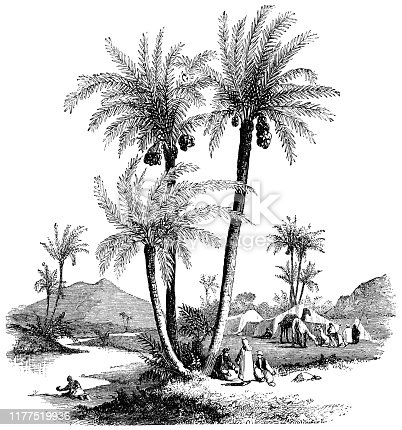 Date Palm trees (Phoenix Dactylifera) in rural Israel. Vintage etching circa mid 19th century.