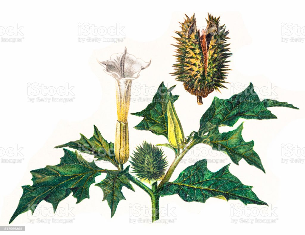 Datura Stramonium Stock Vector Art & More Images Of 19th
