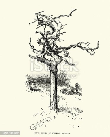 Vintage engraving of Dead trunk of a weeping Sophora tree, 19th Century