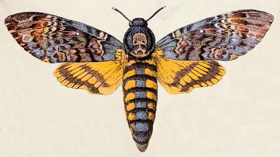 Death's-head Hawk moth (Acherontia atropos), insect animals antique illustration